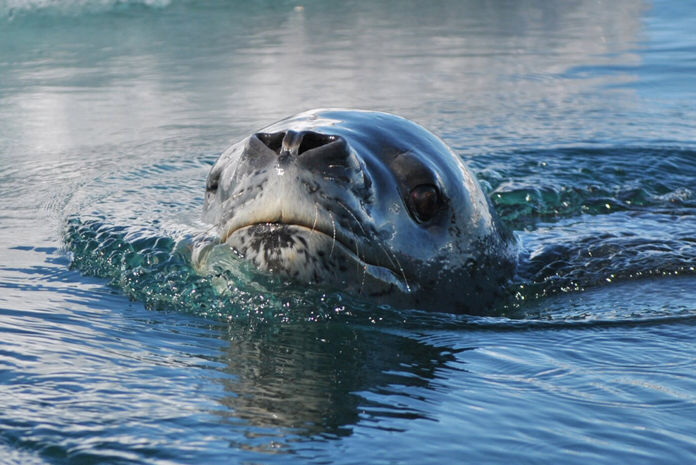 Inquisitive Leopard Seal by Rebecca Foley