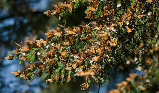 monarch butterflies Journey Mexico