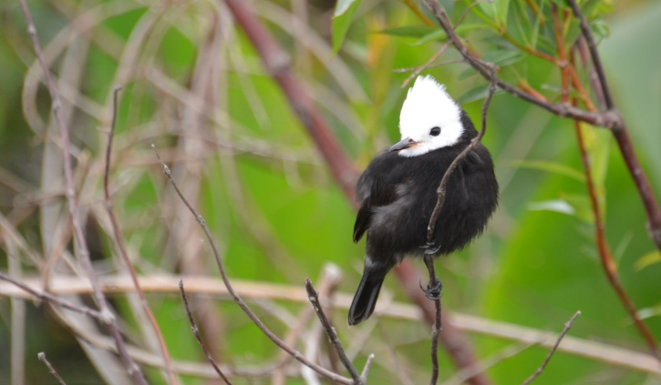 white headed marsh tyrant Ibera Marshlands