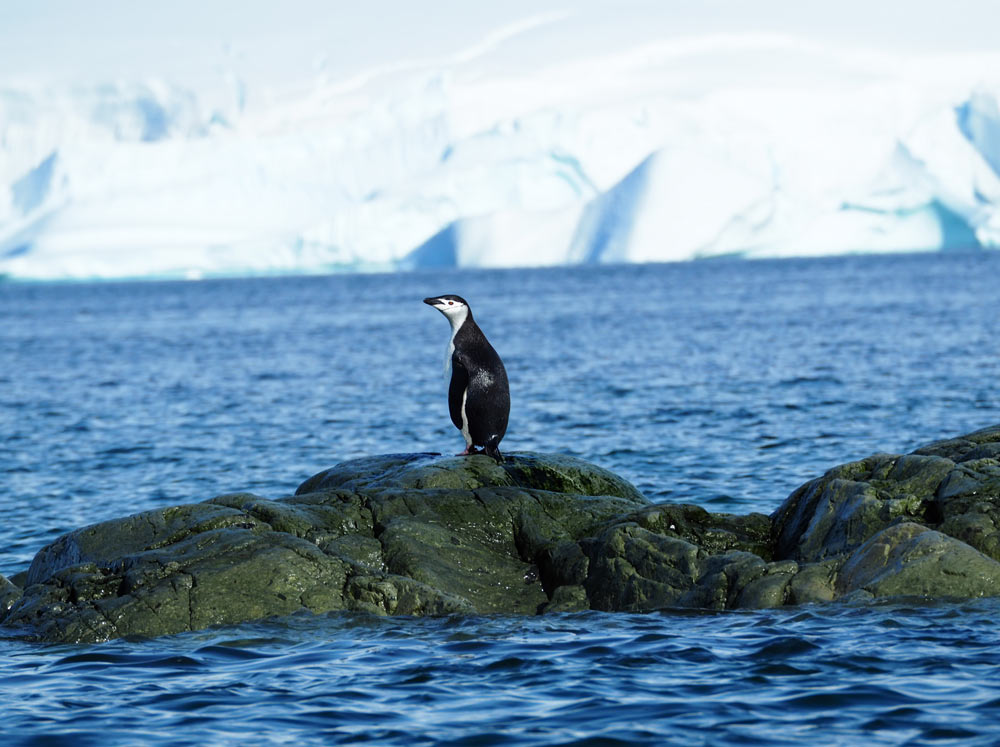 Chinstrap penguin Antarctic Peninsula by Carol Hofman