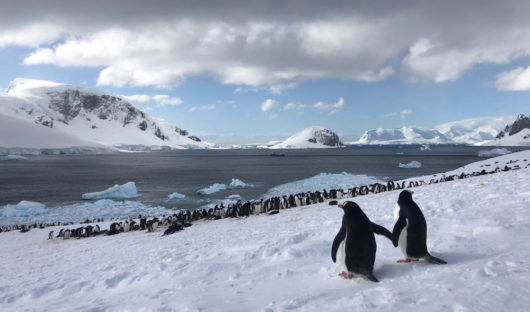 Courting Gentoo Penguins Antarctic Peninsula by Jacqui Read