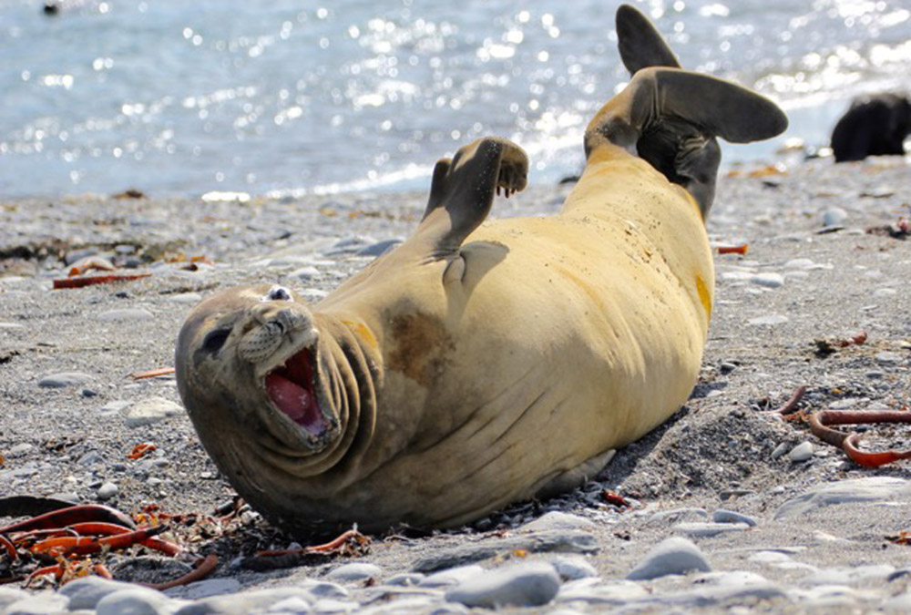 Elephant Seal 'laughing' Image by: Robert Titchener