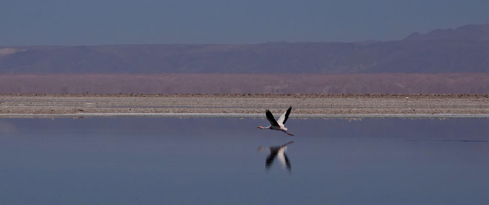 Atacama Flamingo by Lewis Levitz