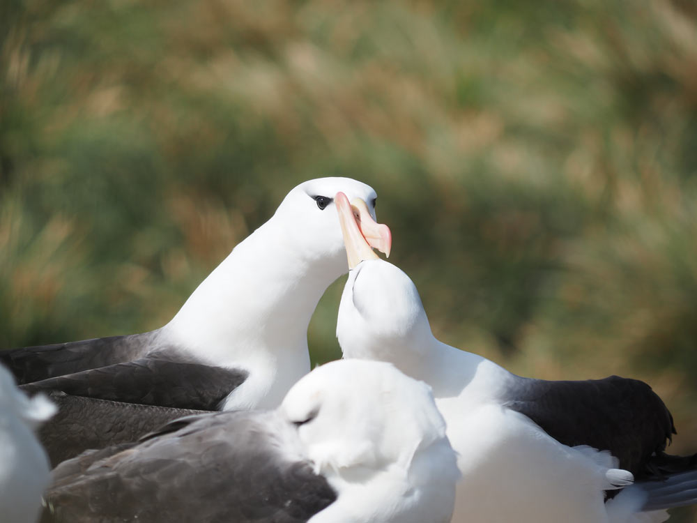 Black Browed Albatross, West Point Island, Falklands by Lee Boag