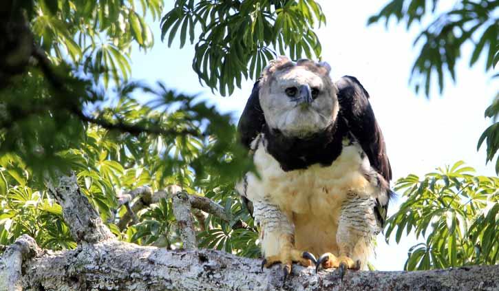 harpy-eagle-web-site-SS