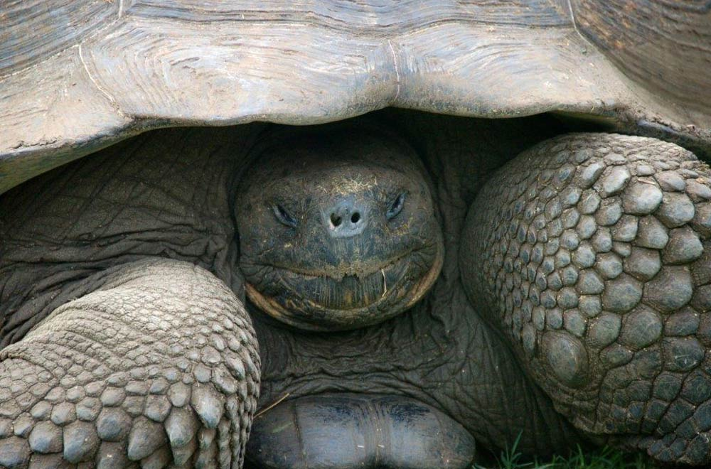 Giant Tortoise, Galapagos Islands by Amanda Coombes
