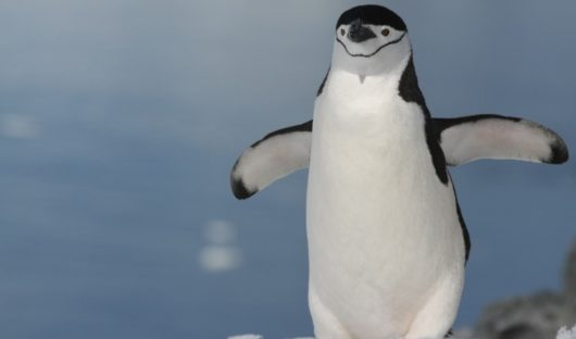 March Chinstrap Penguin, Antarctic Peninsula by Yvette Jaczina