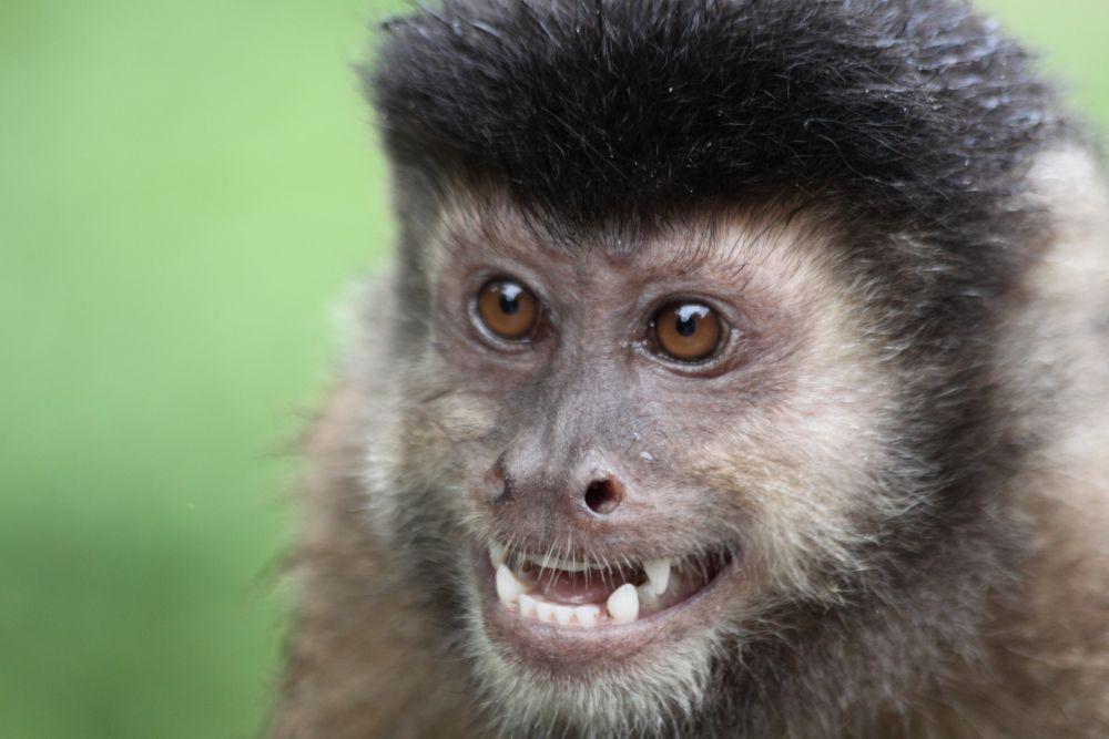 Capuchin Monkey, Iguazu Falls by Lynda McLaughlin