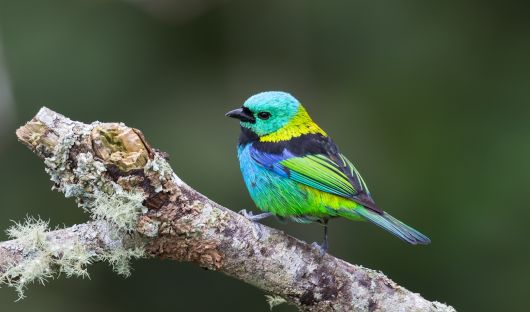 Green-headed tanager Amazon