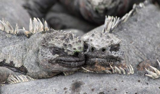 Marine Iguanas, Fernandina by Lynda McLaughlin