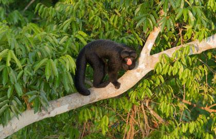 Cristalino Lodge Red Nosed Saki Monkey