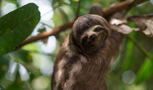 Sloth---image-by-Delfin Amazon Cruise