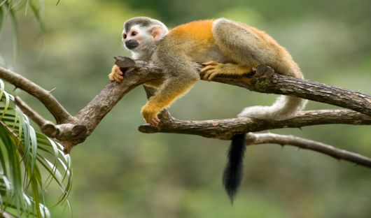 Squirrel Monkey CR