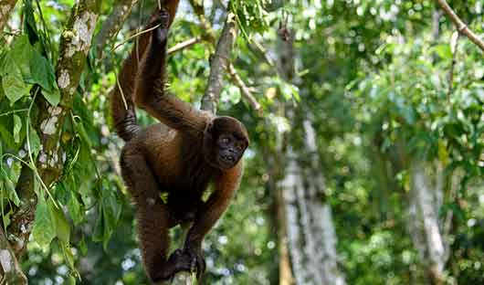 Woolly monkey Amazon River Cruise Peru