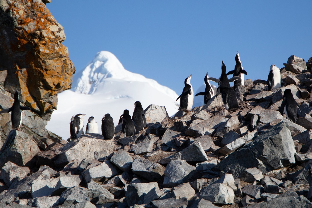 Chinstrap Penguins by Eliot Simpson