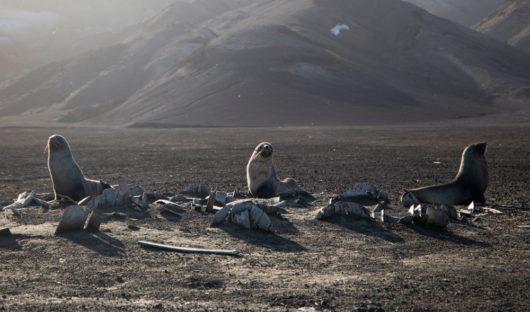 Fur Seals by Eliot Simpson