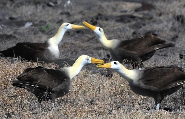 Waved Albatross by Carrie Gordon
