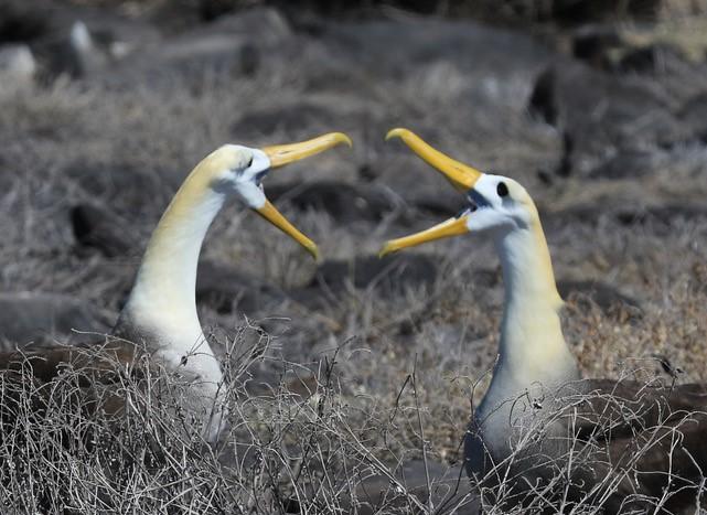 Waved Albatross in Conversation by Michael Gordon