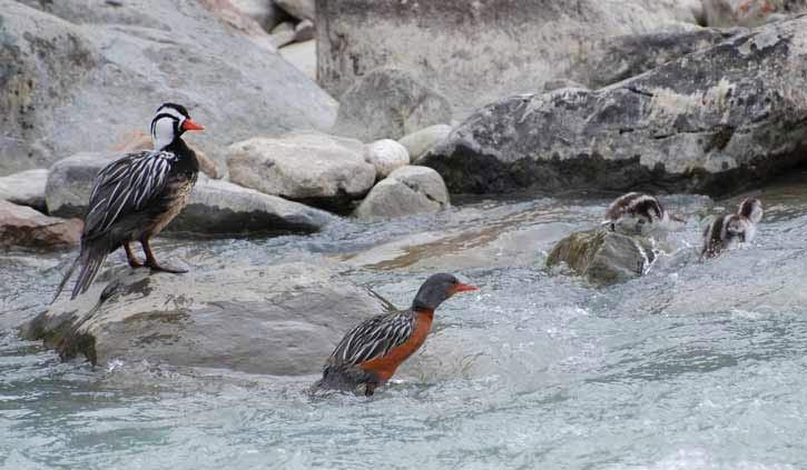 Ducks Tierra del Fuego