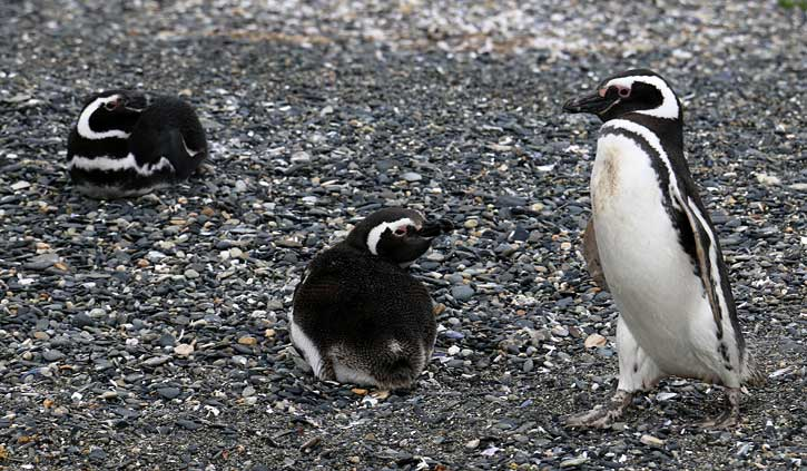 Gable Island Penguins, Ushuaia Day Tours