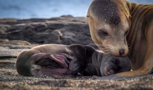 Galapagos Sea Lion with Pup by Andrew Moig