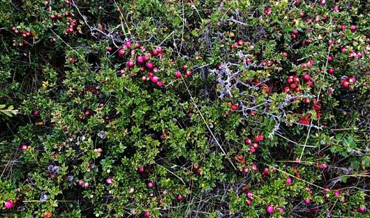 Calafate Berries, Ushuaia