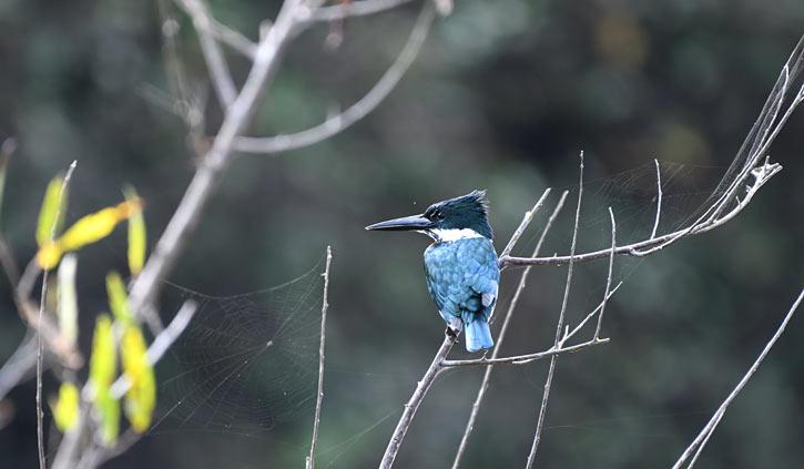 Amazonian Kingfisher Pantanal