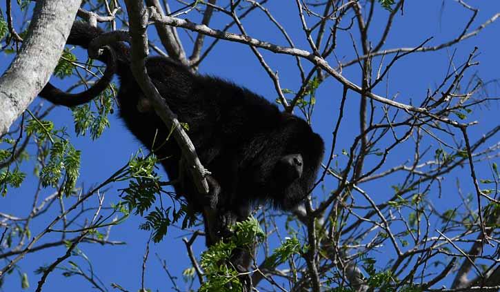 Black Howler Monkey Pantanal