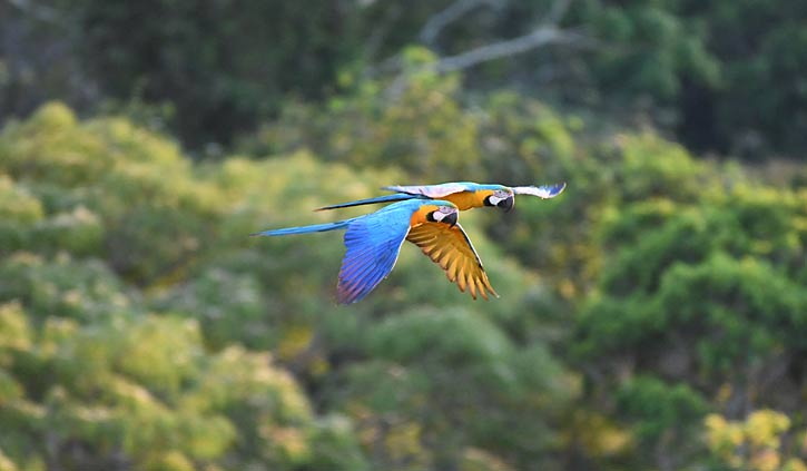 Cristalino Lodge - Blue and Yellow Macaw