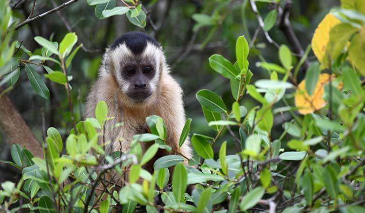 Brown cappuchin Pantanal