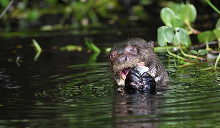 Giant otter eating fish