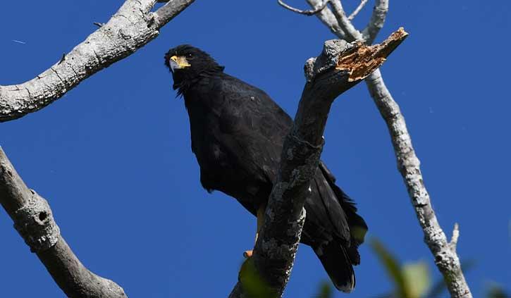 Great Black Hawk eagle Pantanal