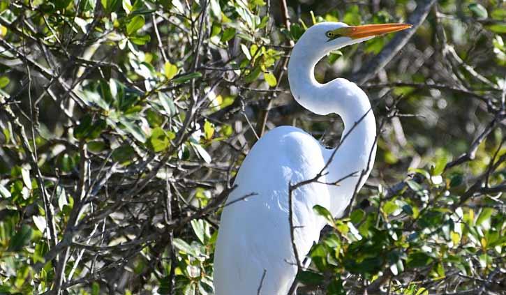 Great White Egret Pantanal