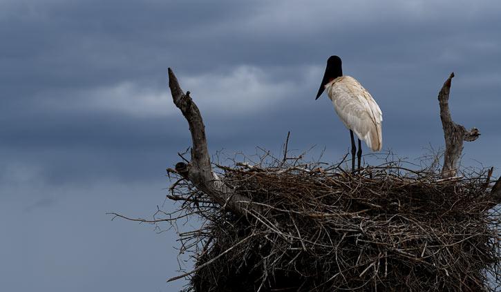 Jabiru nest South Wild Pantanal