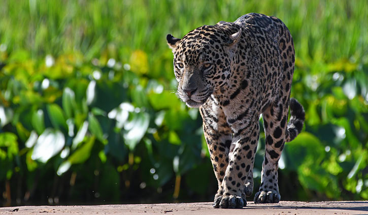 Jaguar beach prowl Pantanal