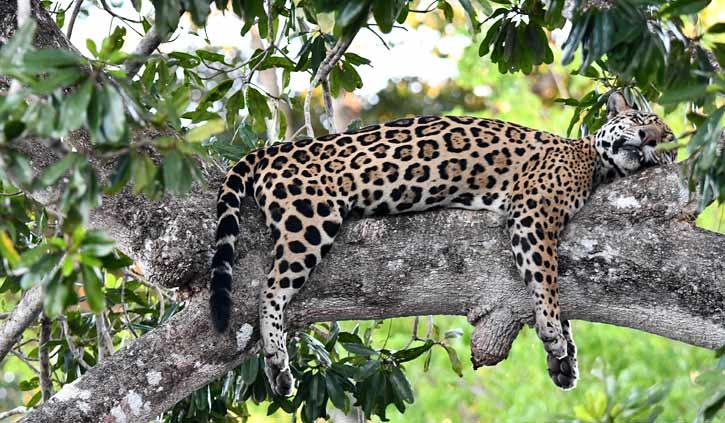 Jaguar relaxing Pantanal