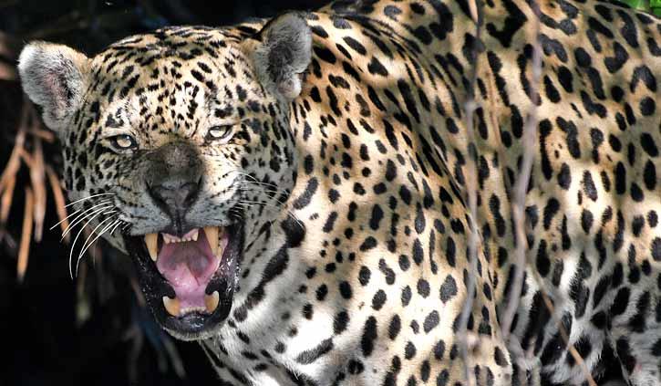 Jaguar snarl Pantanal South Wild