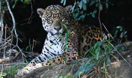 Male Jaguar Panatnal