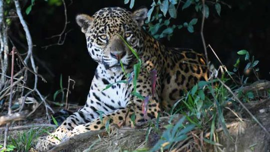 Male Jaguar Panatnal