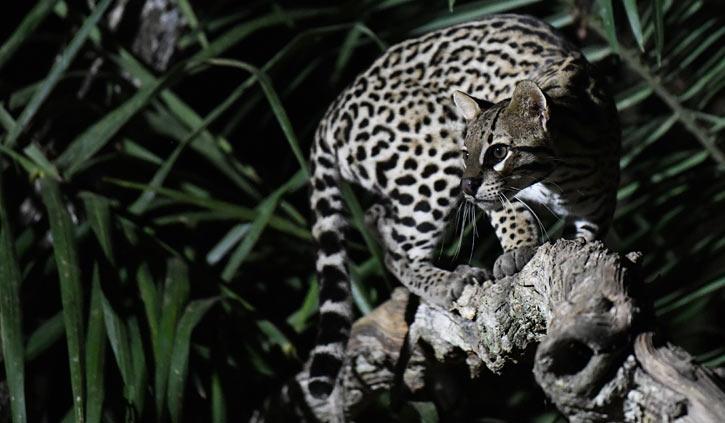 Ocelot South Wild Pantanal