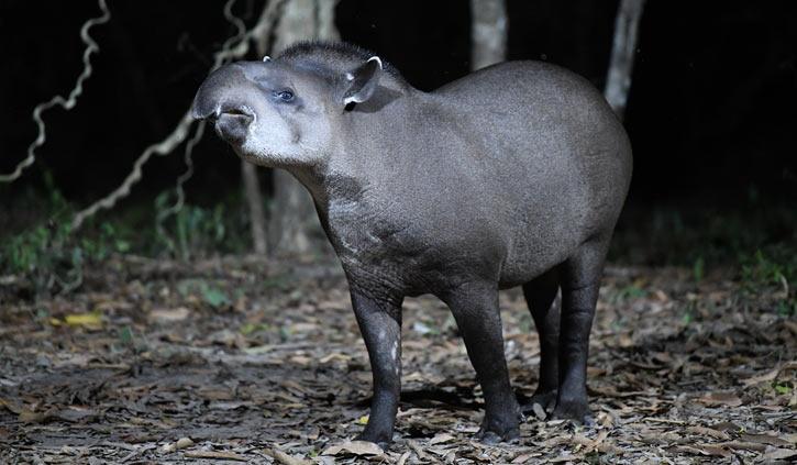 Tapir Pantanal