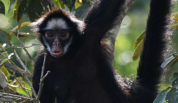 White Whiskered Spider Monkey