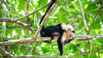 White faced capuchin monkey Tortuguero National Park, Costa Rica