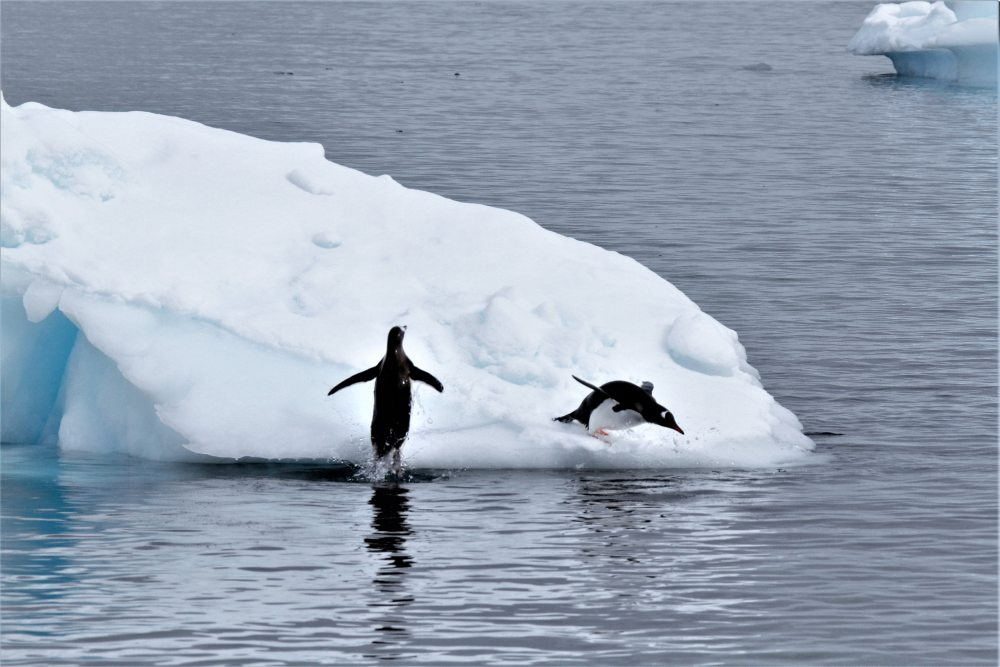 Diving Gentoo Penguins by Querida David