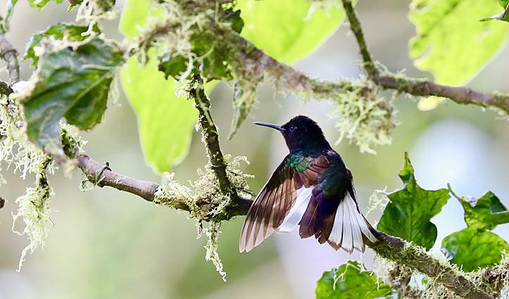 Hummingbird, Ecuador Mashpi Lodge