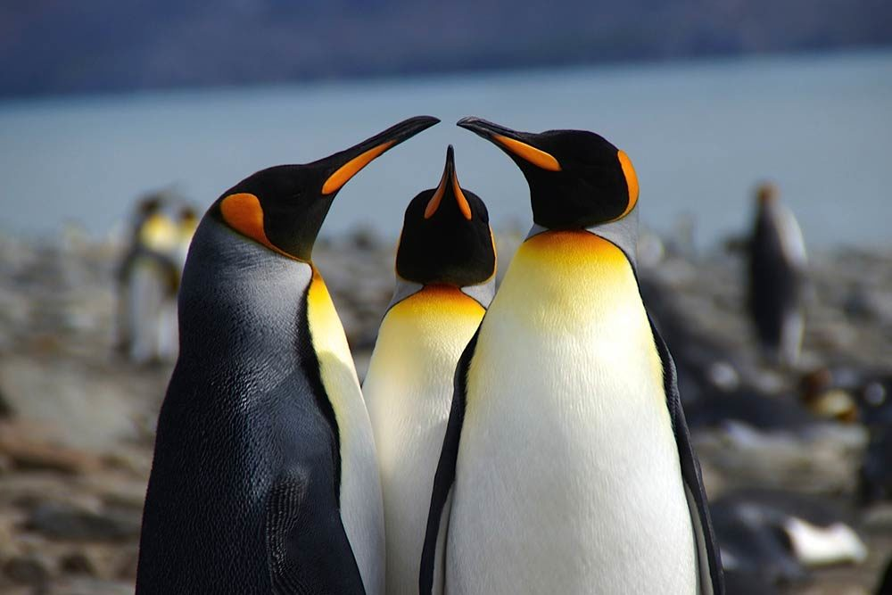 King Penguins by Kim Crofts