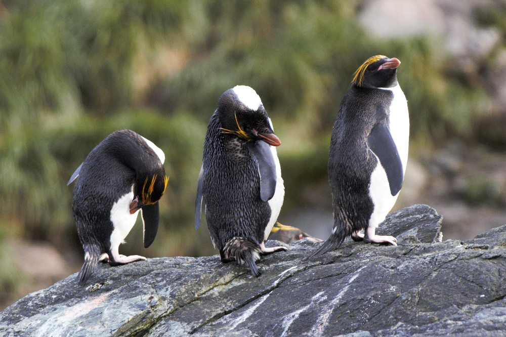 Macaroni Penguins by Stephen David