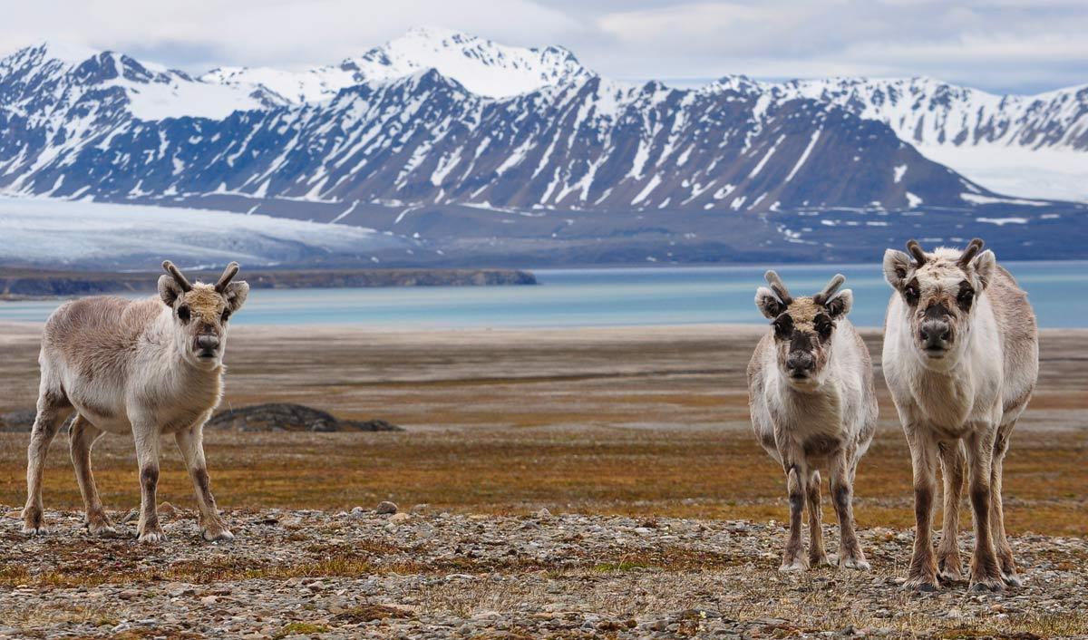 Rachel Callus - Reindeers in Spitsbergen