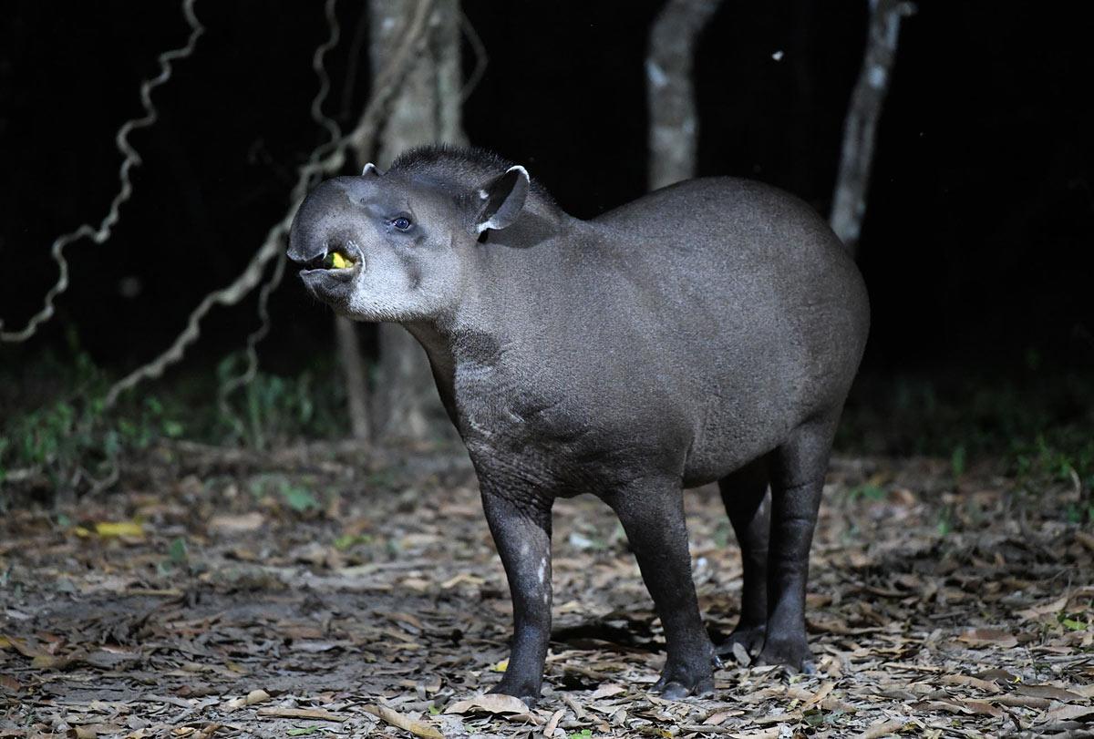 Alex Burridge - Tapir, Southwild, Pantanal, Brazil