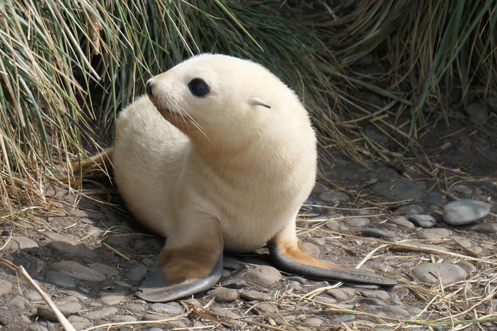 Albino Fur Seal by Doug Cavaye